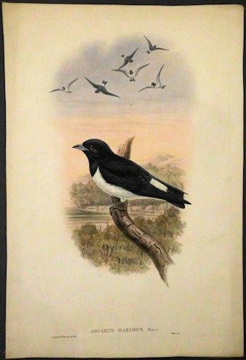 great woodswallow, swallow, bird art, business art