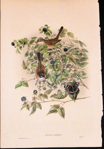 Sylvia Cinerea, nesting birds, botanical art, blueberry bush, business art