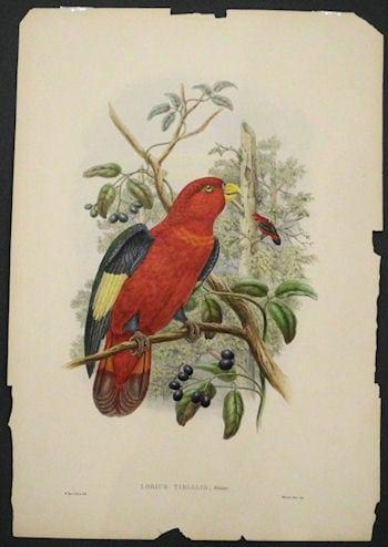 Lorius Tibialis, tropical bird, bird on branch, red bird, business art