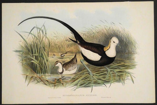 Hydrophasianus Sinensis, pheasant, jacanid, mystery bird, bird art, water art, business art