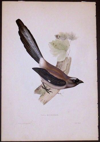 Pica Sinensis, bird art, bird on branch, business art