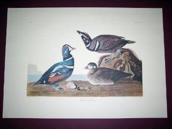 Audubon, John James - 297