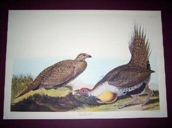 John James Audubon, yellow chested pheasant, pheasants, bird art, bird hunting, animal art, business art, Audubon art
