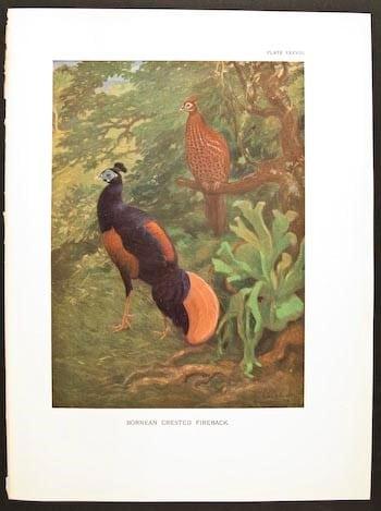 William Beebe, colorful pheasants, pheasants in tree, orange pheasant, bird art, animal art, business art
