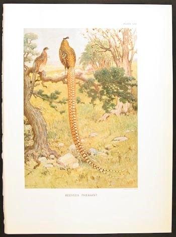 William Beebe, pheasants, long-tailed pheasants, bird art, animal art, business art, bird hunting