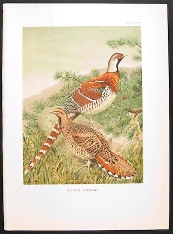 William Beebe, pheasants, exotic birds, bird art, animal art, business art