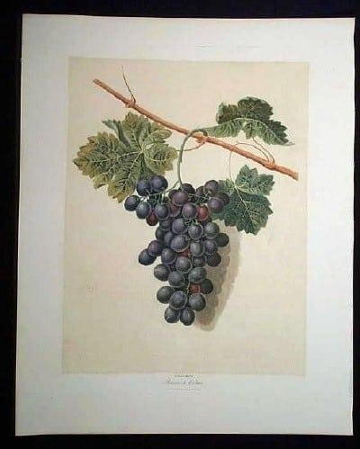 George Brookshaw, wine country, vineyard, grapes on vine, wine art, black grapes, fruit art, business art, purple grapes