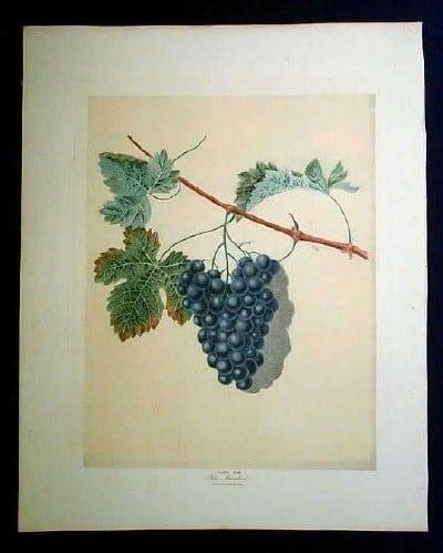 George Brookshaw, wine country, vineyard, grapes on vine, wine art, black grapes, fruit art, business art, blue grapes