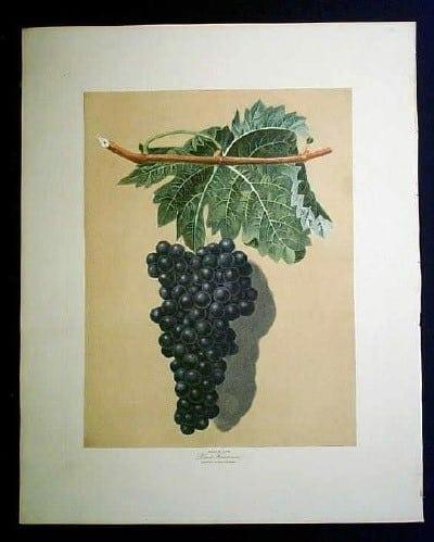 George Brookshaw, wine country, vineyard, grapes on vine, wine art, black grapes, fruit art, business art