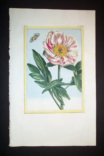 Pierre Buchoz, floral art, butterfly art, white flower with pink, plant life, plant art, business art