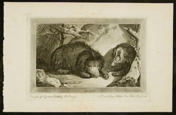 Charles Catton, bears, exotic animals, animal art, business art