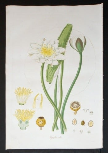 George Curtis, white flower with yellow, plant diagram, plant art, plant life, botanical art,