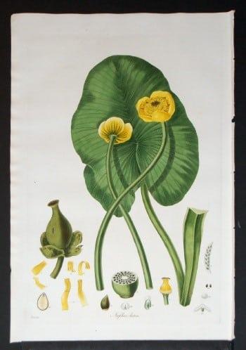 William Curtis, plant diagram, flower diagram, plant life, plant art, botanical art, business art, yellow flowers