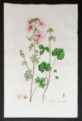 William Curtis, plant diagram, pink flowers, plant life, plant art, botanical art, business art