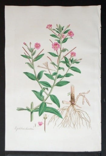 William Curtis, small pink flowers, plant diagram, plant art, plant life, floral art, business art