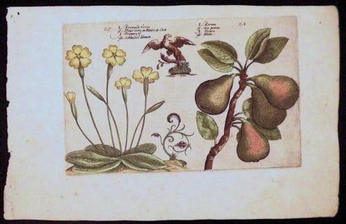Crispin de Passe, pair fruit, yellow flowers, botanical art, business art
