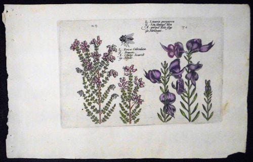 Crispin de Passe, purple flowers, botanical art, vintage art, business art