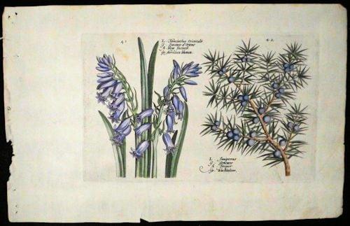Crispin de Passe, blue flowers, blue berries, conifer, business art