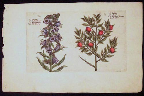 Crispin de Passe, purple flower, red berries, vintage art, business art