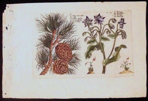 Crispin de Passe, conifers, pine cones, purple flowers, botanical art, business art