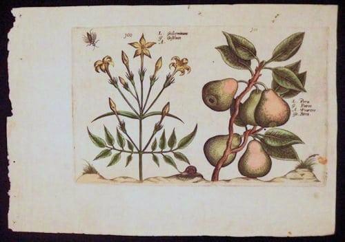 Crispin de Passe, pears on stem, botanical art, business art