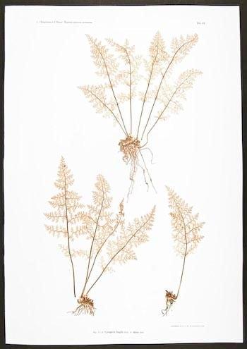 Constantin von Ettingshausen, botanical art, pink foliage, plant diagram, plant life, plant art, business art