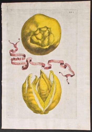 Giovanni Ferrari, botanical art, plant life, plant art, business art, yellow art