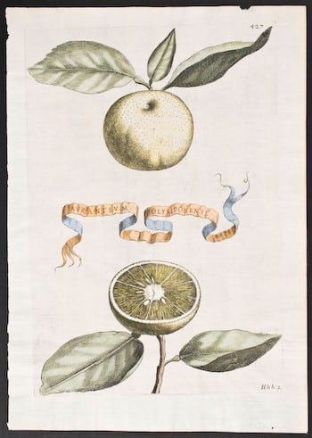 Giovanni Ferrari, fruit art, botanical art, plant art, plant life, business art