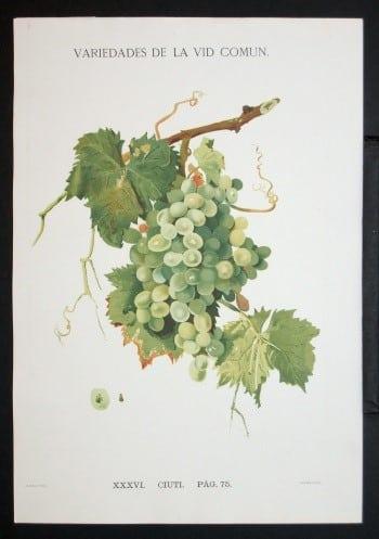 J. Guzman, wine country, vineyard, grapes on vine, green grapes, wine art, botanical art, business art