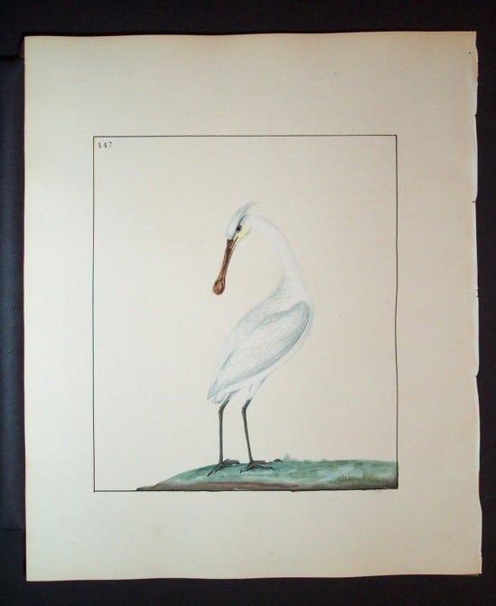 William Lewin, white bird, water bird, bird art, animal art, business art