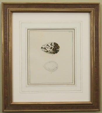William Lewin, spotted egg, bird art, animal art, business art