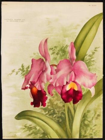 Jean Linden, pink flowers, pink iris, botanical art, plant art, plant life, business art