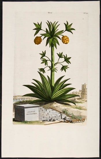 Abraham Munting, yellow flowers, botanical art, plant life, plant art, business art