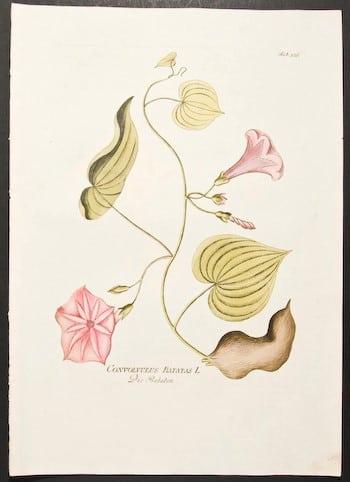 Joseph Jacob Plenck, pink flowers, plant life, plant art, botanical art, business art