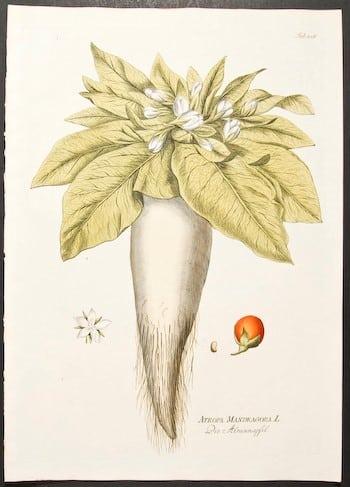 Joseph Jacob Plenck, botanical art, plant life, plant art, plants with white flowers, business art