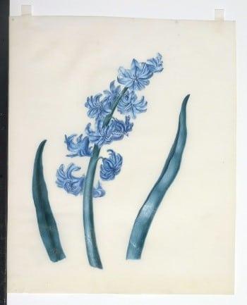 Sarah Rhodes, blue flowers, botanical art, flower art, business art, plant life, plant art