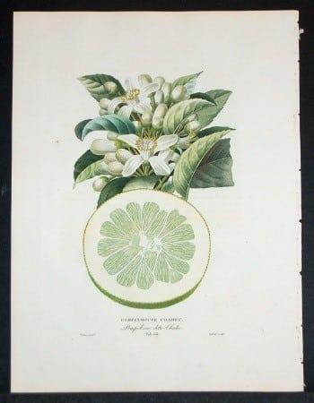 Joseph Risso, fruit art, plant art, citrus fruit, horticulture, business art