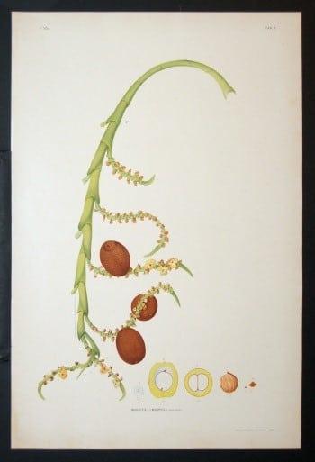João Barbosa Rodrigues, Brazilian art, plant art, plant life, plant diagram, business art