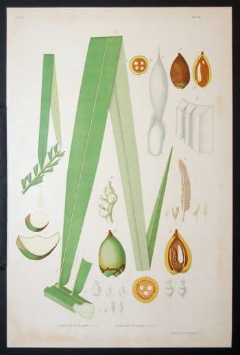 João Barbosa Rodrigues, Brazilian art, botanical art, plant diagram, plant art, business art