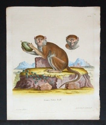 Johann von Schreber, monkey art, primates, vintage art, business art, animal art