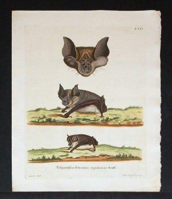 Johann von Schreber, bats, animal art, business art, weird art