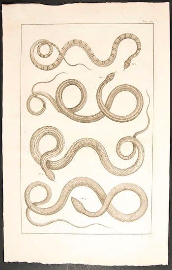 Albertus Seba, snake tattoo, snake art, exotic animals, animal art, business art