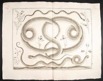 Albertus Seba, serpent, snake art, serpent tattoo, animal art, business art