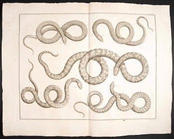 Albertus Seba, snakes, snake art, animal art, business art