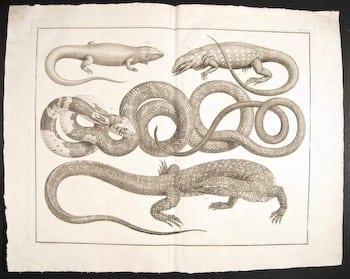 Albertus Seba, Dutch art, reptiles, reptile art, animal art, business art
