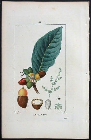 Pierre Jean Francois Turpin, horticulture, plant life, plant art, tree nuts, business art