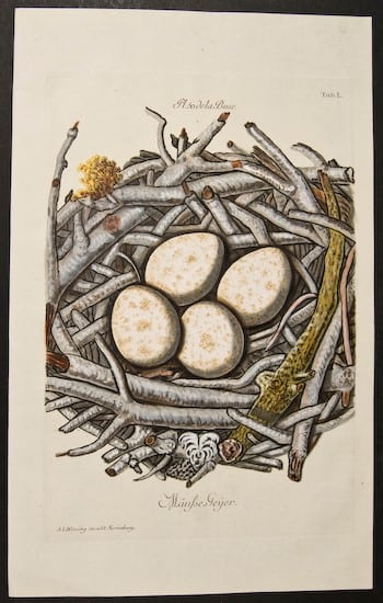 Adam LudwigWirsing, eggs in nest, nesting eggs, animal art bird art, business art