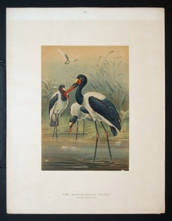 Joseph Wolf, storks, bird art, animal art, business art