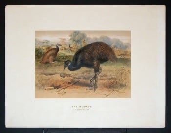 Joseph Wolf, emu, ostrich, bird art, animal art, business art