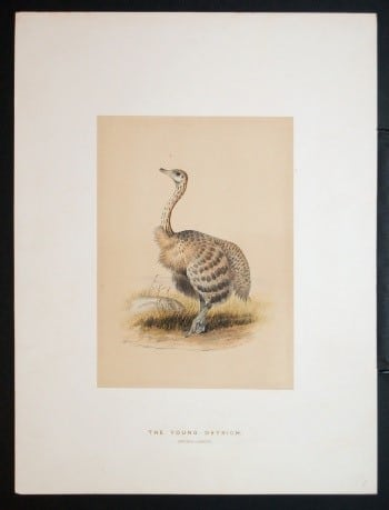 Joseph Wolf, bird art, animal art, business art